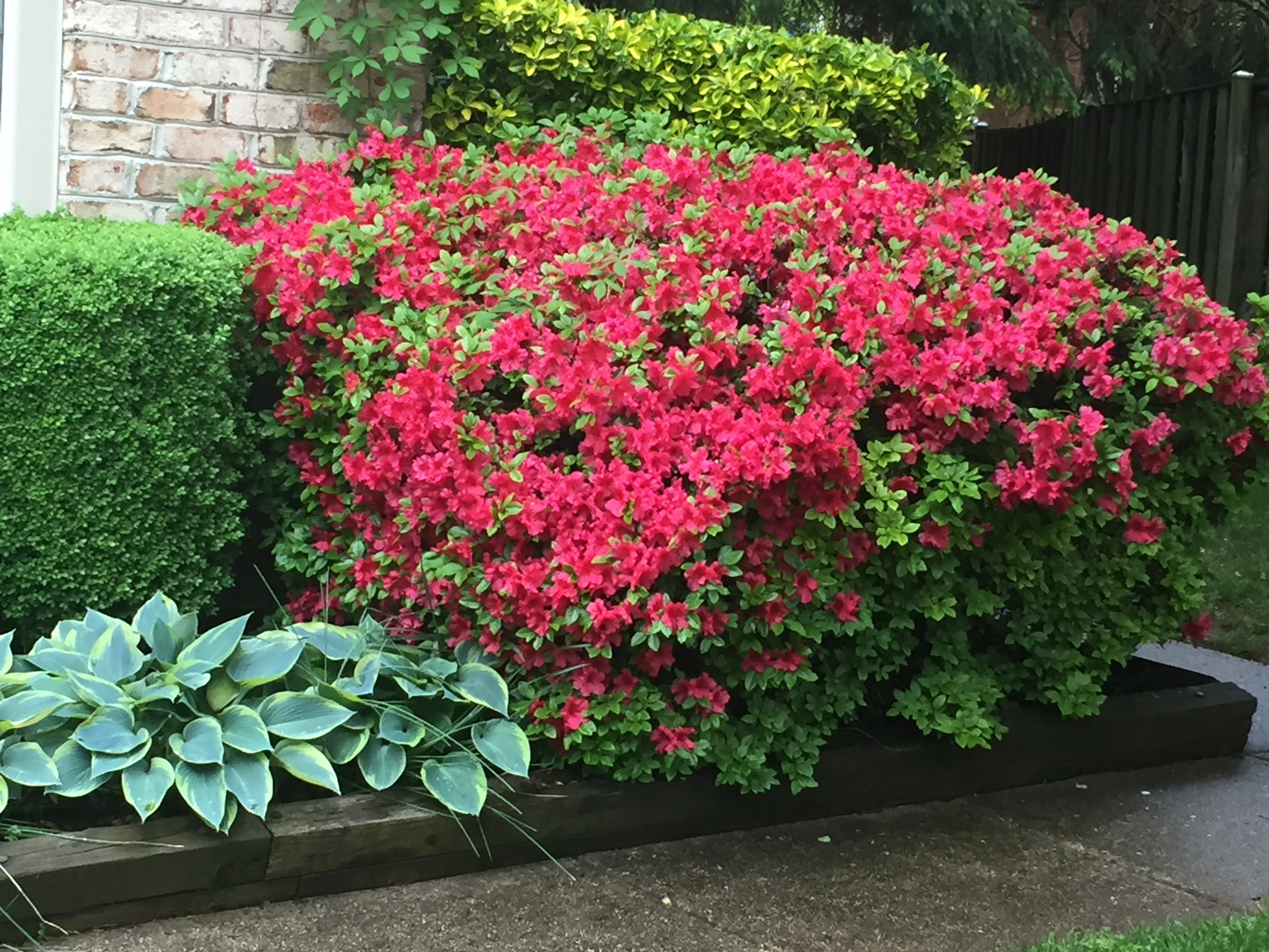Last Minute Mother's Day Gift Azalea Bush