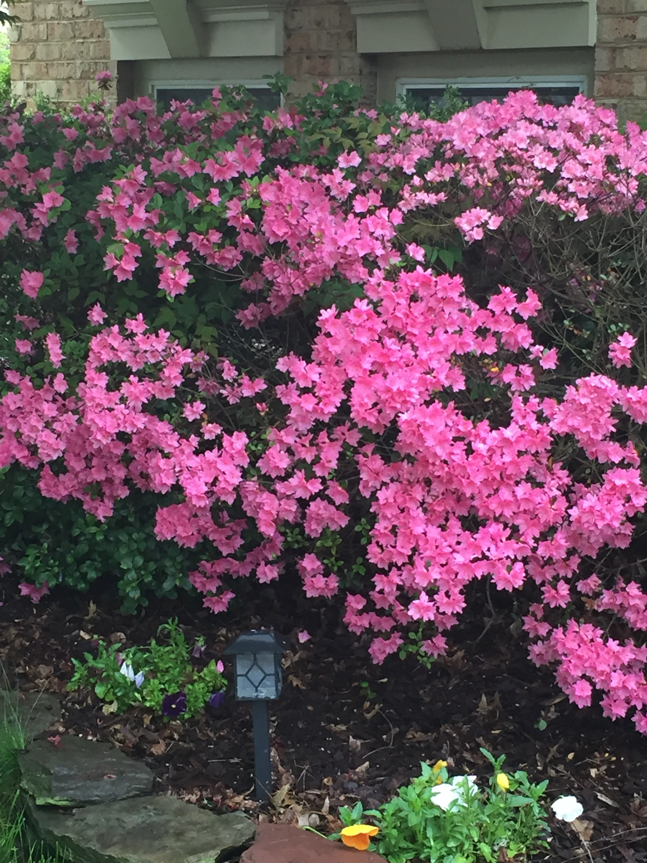 pink azalea on the shade