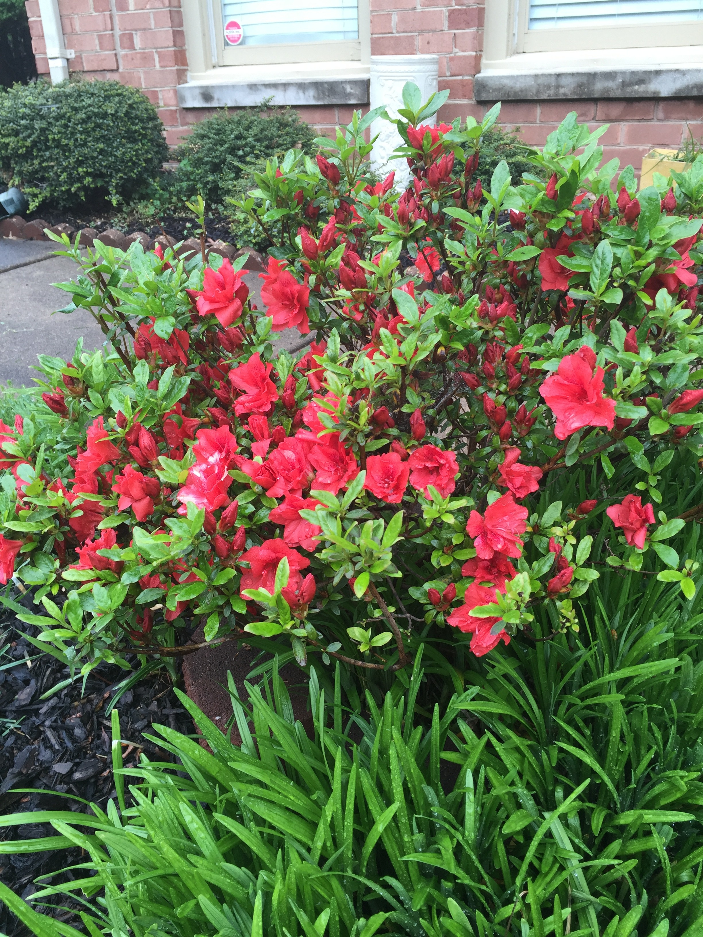coral red Azalea bush