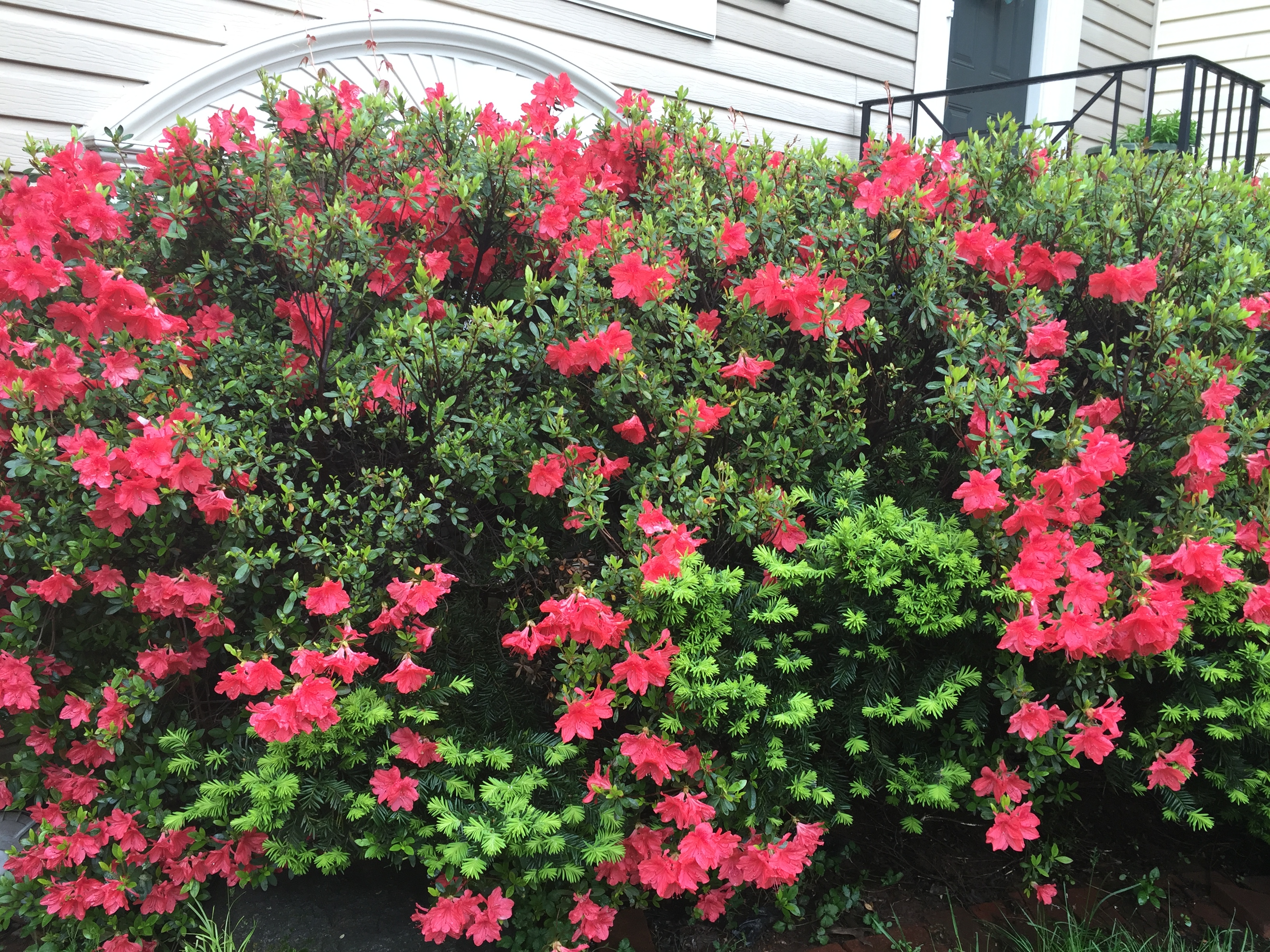 fire red azalea