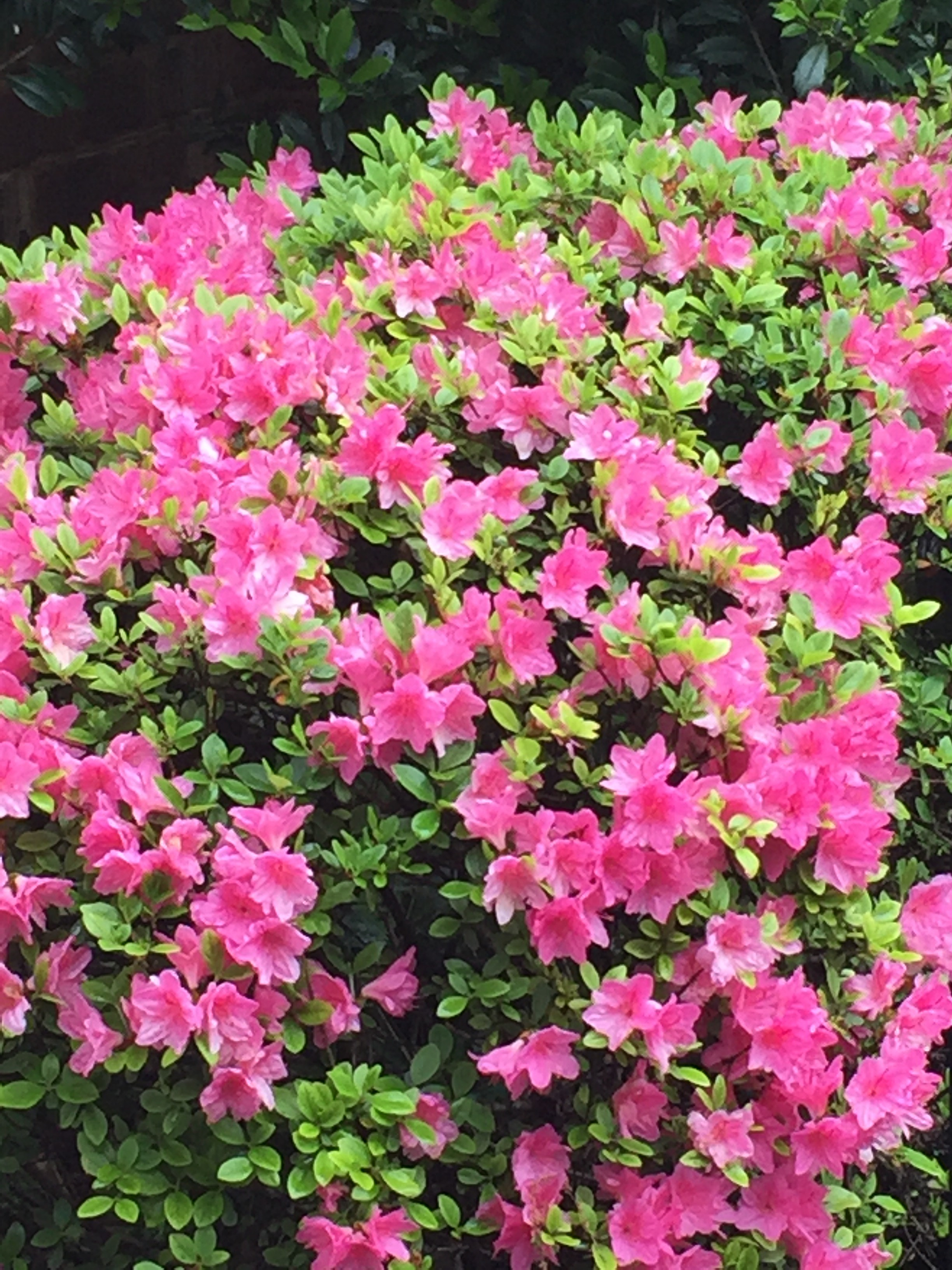 magenta pink azalea bush