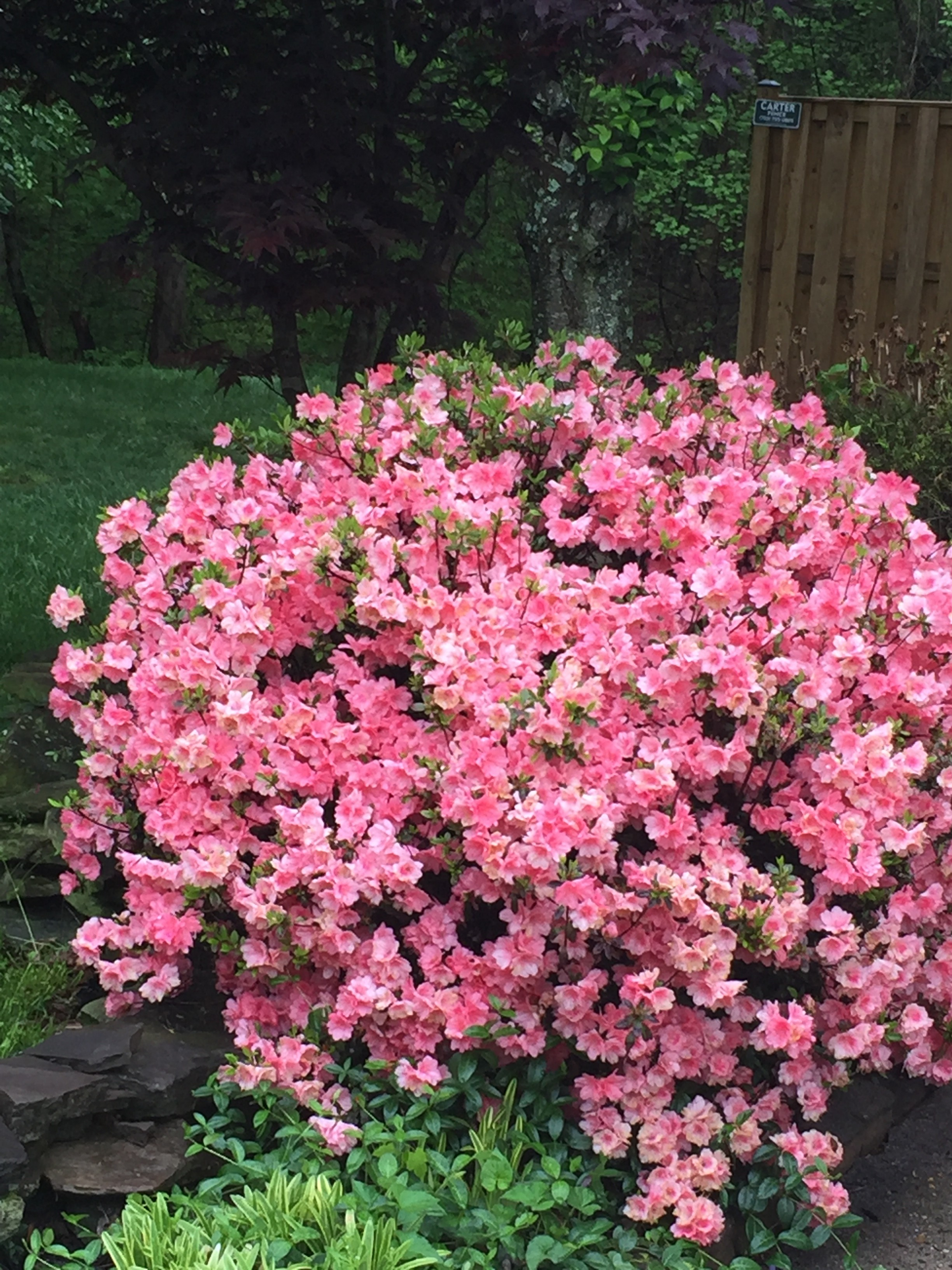 Pink azalea bush for landscape ideas