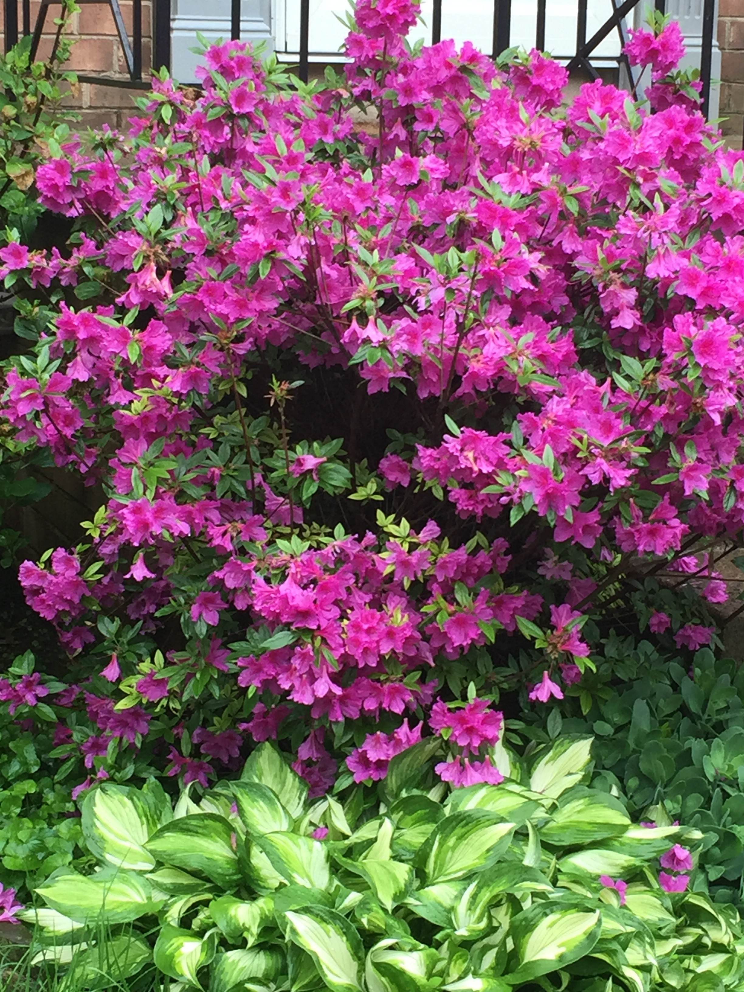 purple azalea bush
